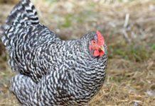La Dominicana: antica razza avicola dei coloni d'America | Tuttosullegalline.it