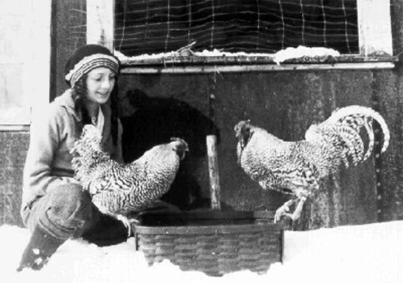 Ritratto di gallo e gallina di razza Dominicana nella fattoria americana A.Q. Carter's farm (1915)