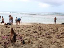 Chicken's beach: alle Hawaii in spiaggia con le galline (Ke'e beach) | Tuttosullegalline.it