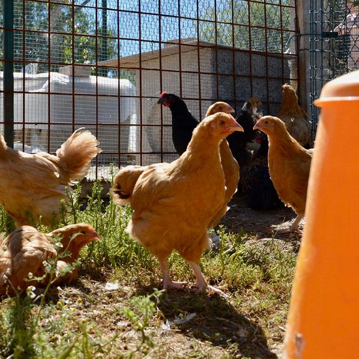 Il Paradiso dei Polli, allevamento galline ornamentali e ovaiole