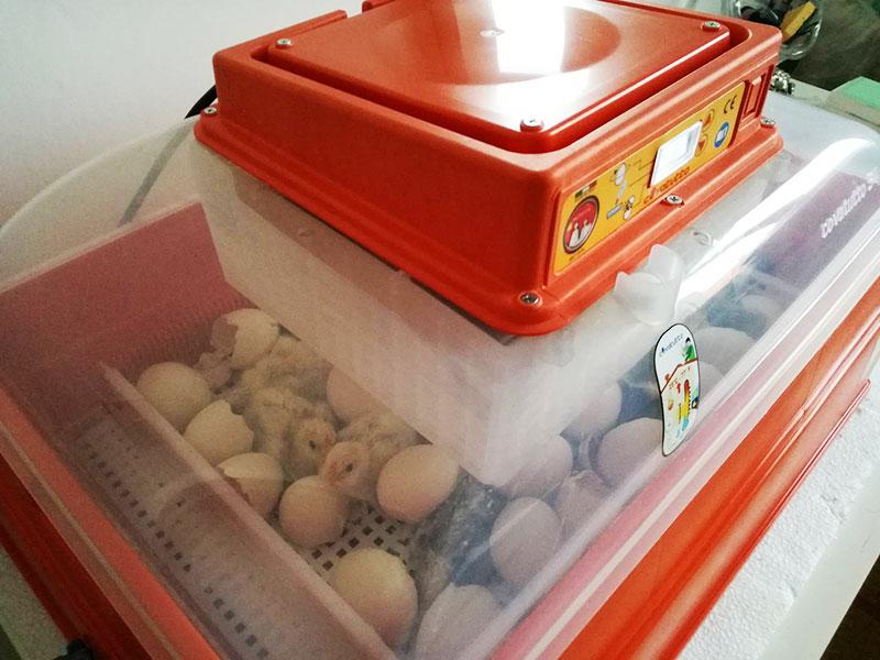 Pulcini in schiusa nell'incubatrice Covatutto 54 Novital