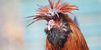 La Masseria di Polverara | Allevamento gallina ornamentale Polverara