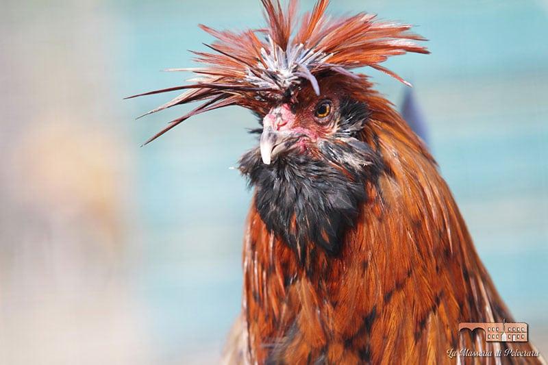 La Masseria di Polverara   Allevamento gallina ornamentale Polverara