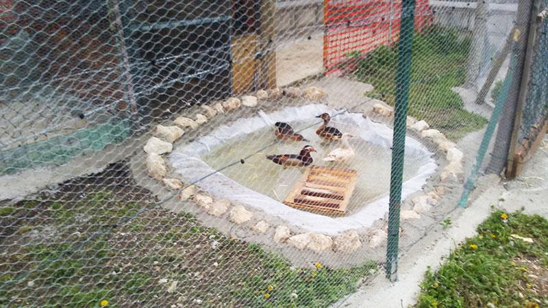 Fattoria La Fenice | Allevamento amatoriale galline ornamentali