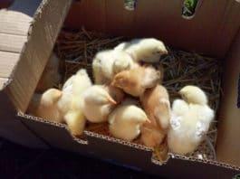 Fattoria La Fenice | Allevamento amatoriale galline ornamentali e ovaiole