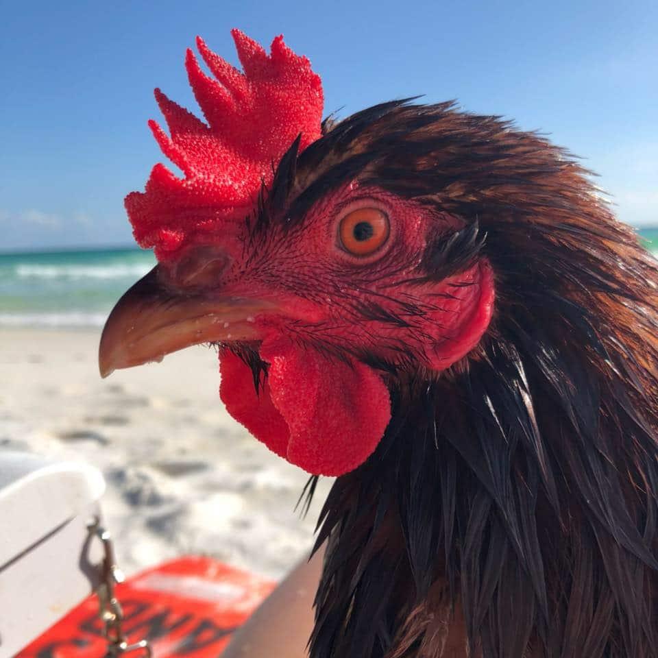 Sammi, gallina in spiaggia