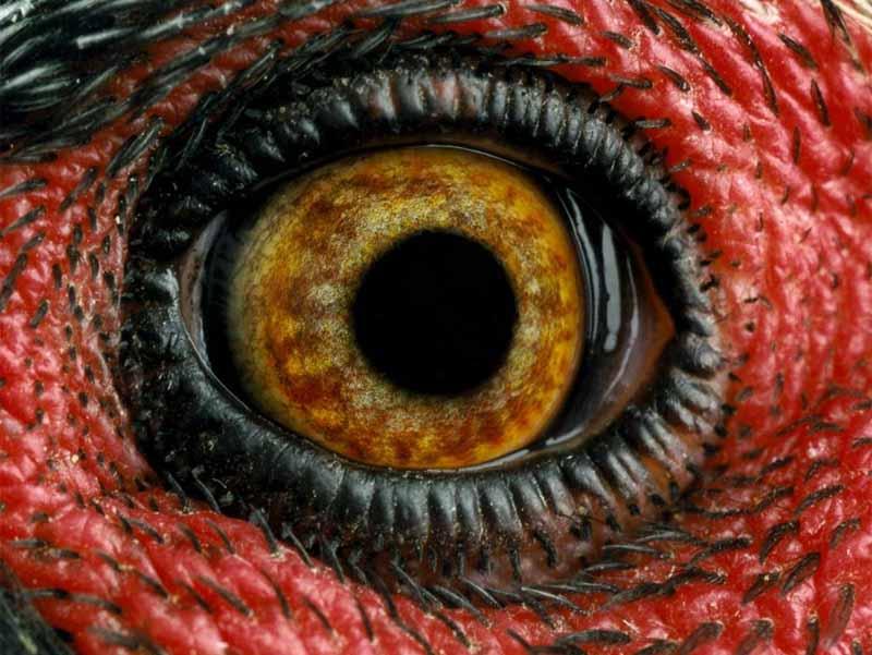 Occhio di dinosauro o di gallina?