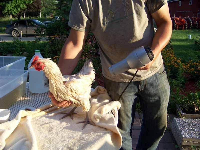 Nel caso di scarsità di calore solare possiamo aiutarci con un phon per asciugare la gallina