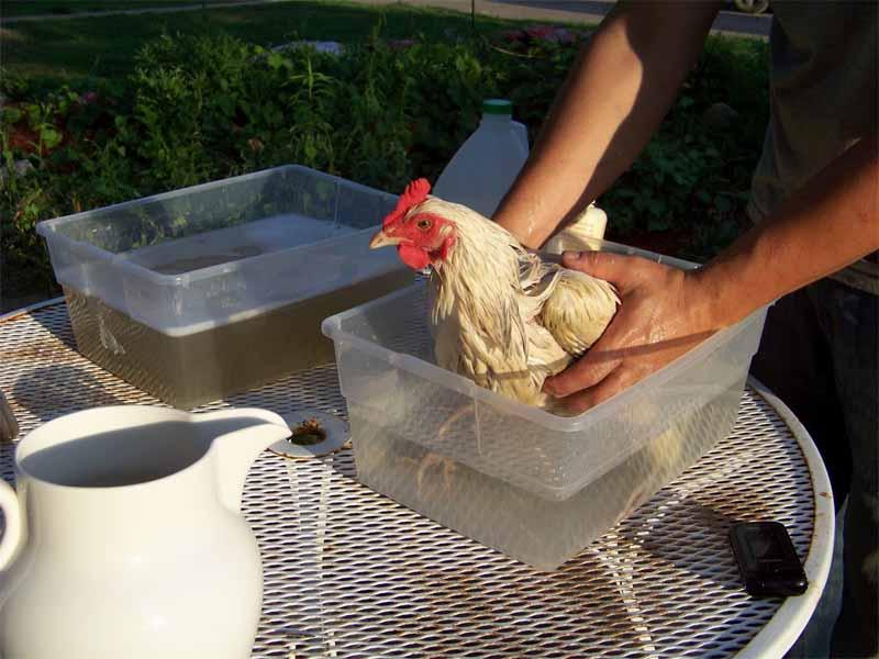 Le vaschette del bagno con acqua tiepida e sapone in cui immergere la nostra gallina.