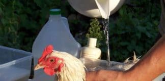 Come fare il bagno alle galline con acqua e sapone | Tuttosullegalline.it