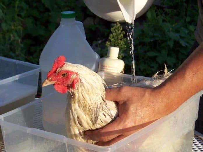 Come fare il bagno alle galline con acqua e sapone - Come fare per andare in bagno ...