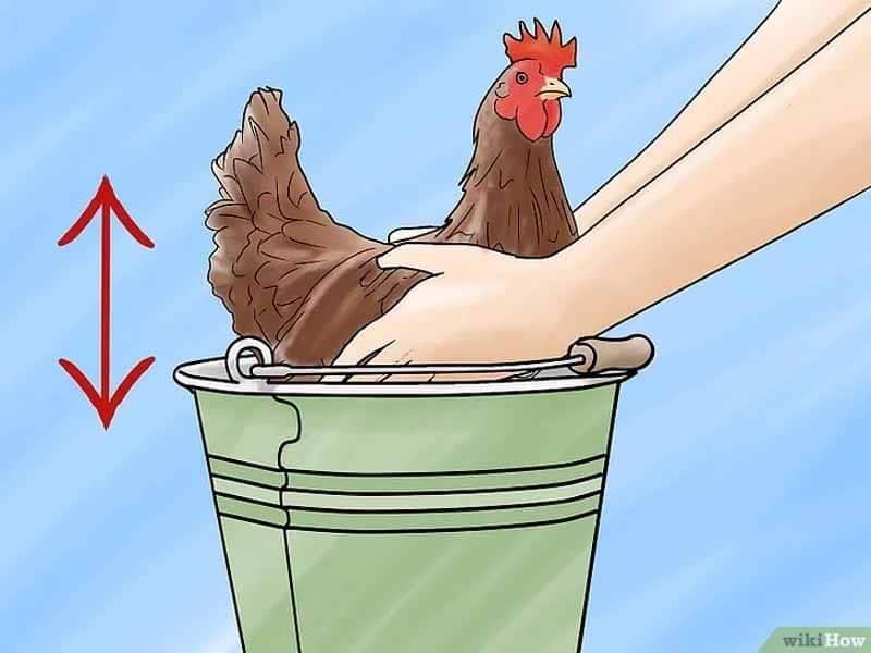 Come fare il bagno ad una gallina