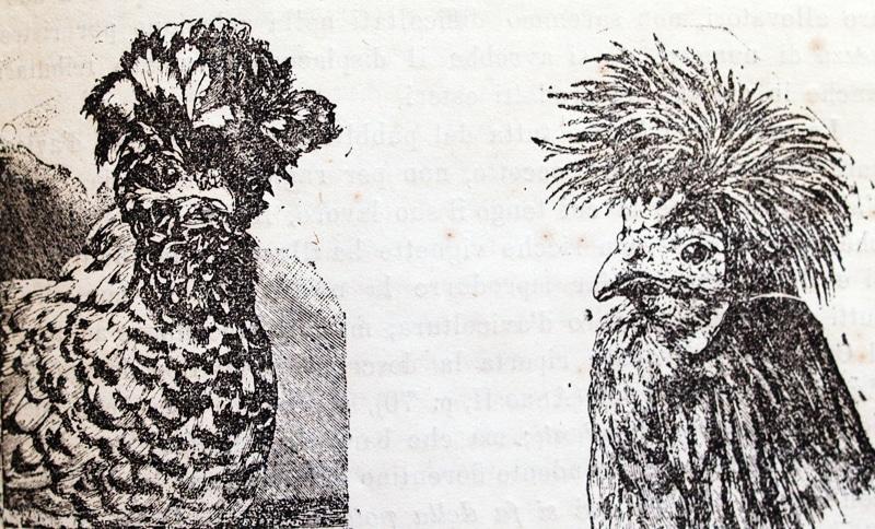 Illustrazione commissionata da Italo Mazzon e rappresentate una coppia di Polverara, risalente circa al 1890