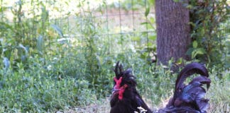 Gallina di Polverara, razza ciuffata e buona ovaiola | Tuttosullegalline.it
