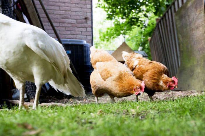 Benessere delle galline in giardino