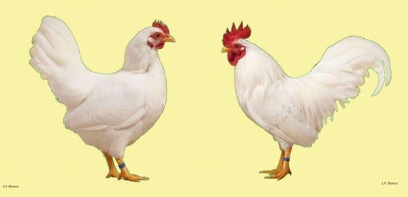 Standard FIAV gallo e gallina Mericanel della Brianza