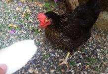 L'osso di seppia come integratore di calcio nell'alimentazione delle galline | Tuttosullegalline.it