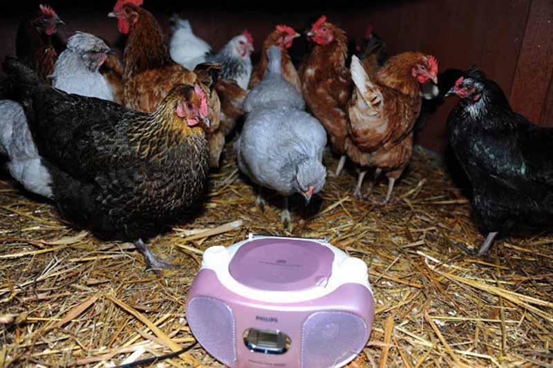 Semplice installazione musicale nel piccolo pollaio domestico di Steve Ledsham da Merseyside (Gran Bretagna).