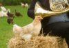 Udito delle galline, come percepiscono suoni, rumori e musica | Tuttosullegalline.it