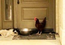Gallina e gatto salvati insieme dal rogo della California | Tuttosullegalline.it