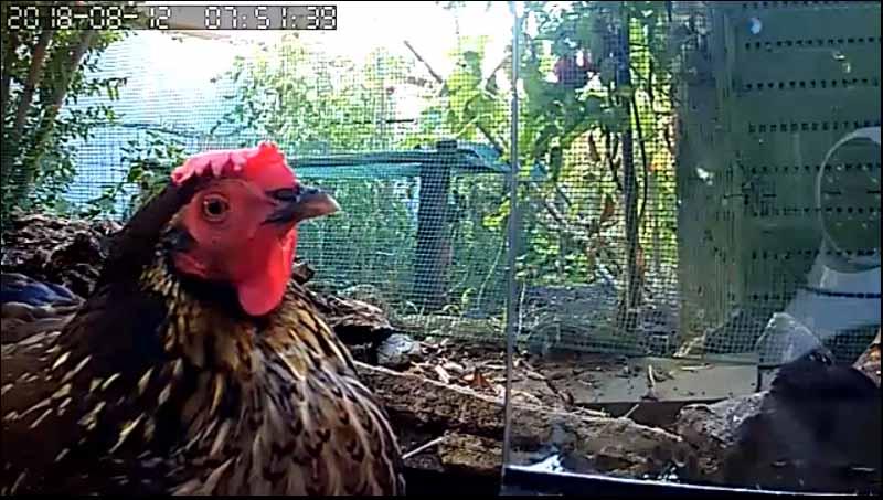 La gallina Rina in relax inquadrata dalla telecamera posizionata nel pollaio