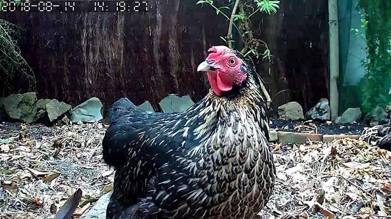 La gallina Rina curiosa inquadrata dalla telecamera posizionata nel pollaio