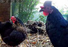 Telecamera nel pollaio per spiare le nostre galline ovunque ci troviamo | Tuttosullegalline.it