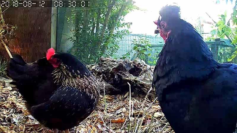 Le galline Rina e Ciuffina in uno scatto effettuato da remoto con la telecamera posizionata nel pollaio