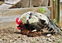 Riproduzione delle galline: accoppiamento tra gallo e gallina | Tuttosullegalline.it