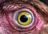 La vista delle galline: occhi eccezionali per una visione a 4 colori e a 300° | Tuttosullegalline.it