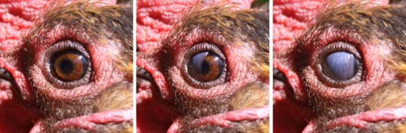 La chiusura della terza palpebra nell'occhio delle galline
