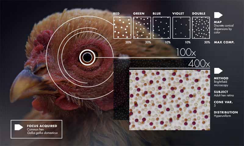 Cristallo e liquido nella retina delle galline