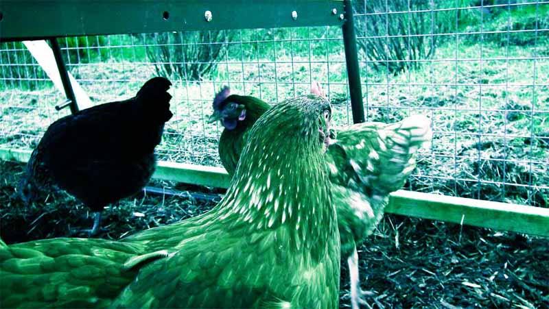 Un pollaio così come potrebbe risultare visibile dalla vista di una gallina