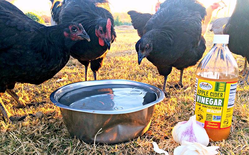 Aceto di mele per galline