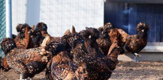 Come valutare galline di razza durante l'acquisto