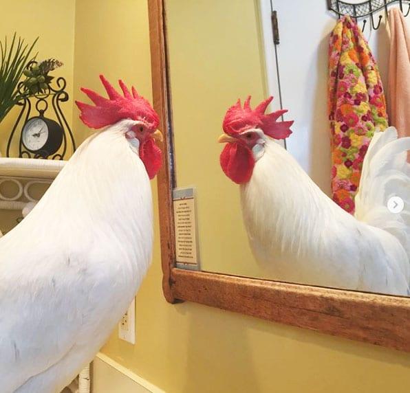 gallo Bree allo specchio