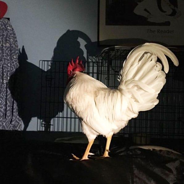 gallo Bree e la sua ombra