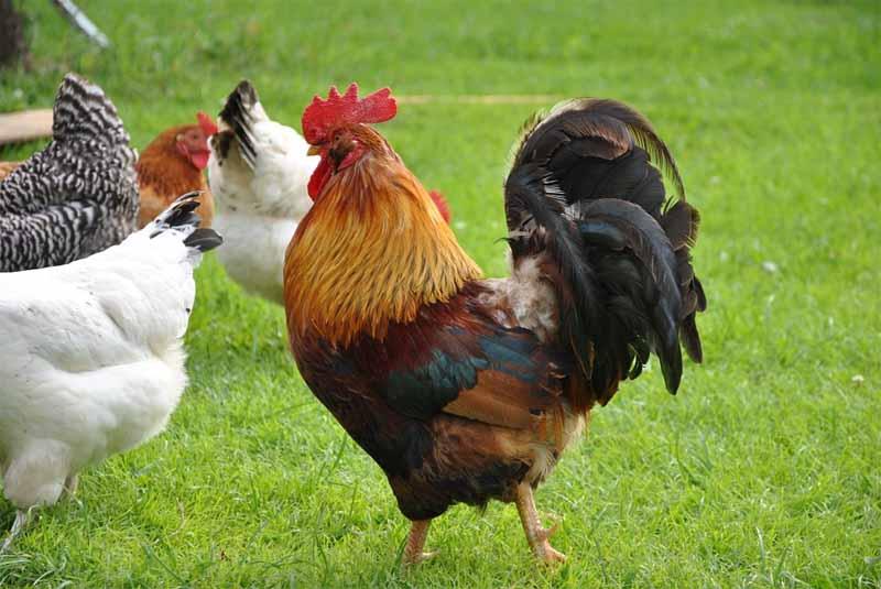 Il gallo e il suo ruolo di re del pollaio