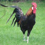 Gallo: caratteristiche morfologiche e comportamentali del re del pollaio | Tuttosullegalline.it