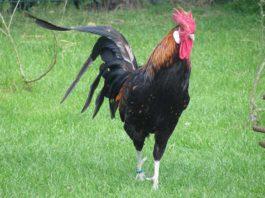 Gallo: caratteristiche dell'animale, comportamento e aggressività | Tuttosullegalline.it