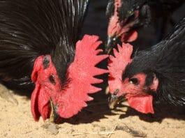Galli e galline (chiocce) che fanno tidbitting | Tuttosullegalline.it