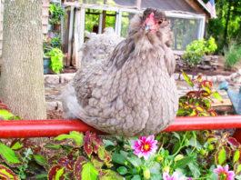 Lo Zen e l'arte di allevare galline | Tuttosullegalline.it