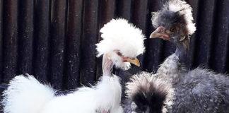 Piccolo Paradiso | Allevamento amatoriale galline ornamentali
