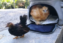 "Follow The Hen: due galline ""da seguire"" nel centro di Roma 