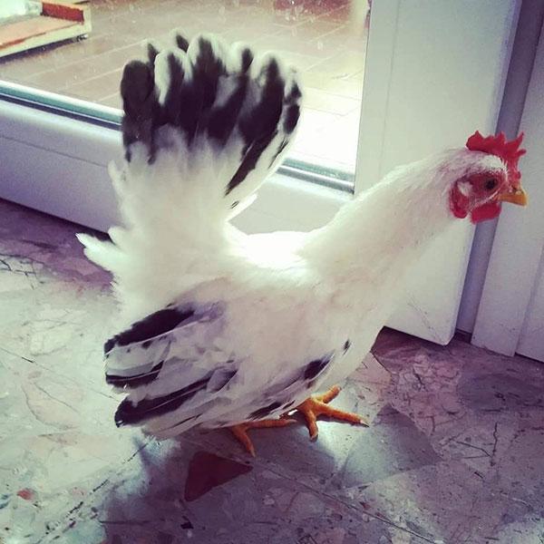 Gallo Rocco