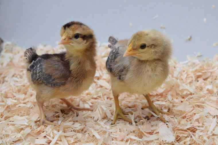Un pulcino femmina (a sinistra) e un pulcino maschio (a destra)