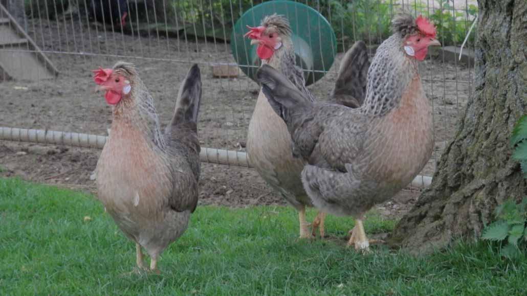 Il piumaggio e gli orecchioni della gallina Legbar Crema