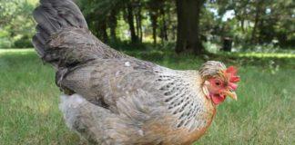 Legbar Crema, gallina ovaiola vivace che depone uova azzurre | Tuttosullegalline.it