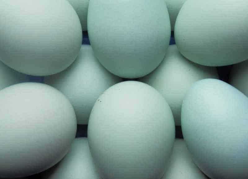 La tipica colorazione blu pastello delle uova di gallina di razza Legbar Crema
