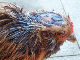 Pica delle piume e cannibalismo nelle galline | Tuttosullegalline.it